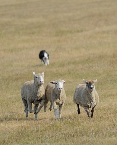 Sheep Dog Handling Hire